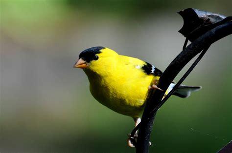 Backyard Yellow Birds Yellow Colored Birds Birds In The Yard