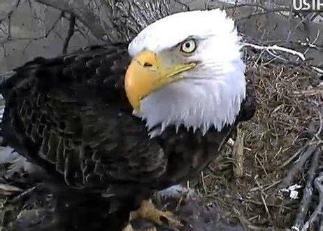 decorah eagle on ustream nature pinterest