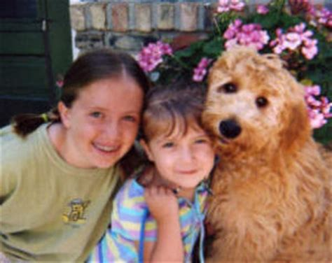 goldendoodle puppies for sale in mn goldendoodles for sale in mn www proteckmachinery