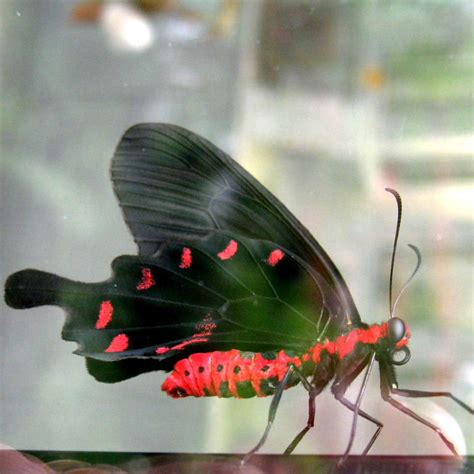 pink rose swallowtail butterfly