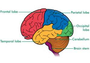 Diagrams of the brain printable brain diagram