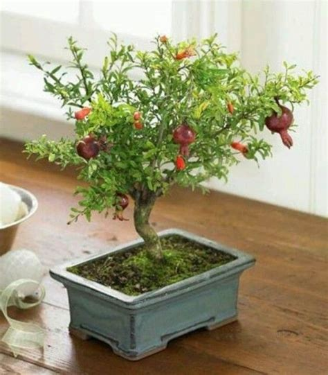 fruit trees indoors 1000 ideas about bonsai fruit tree on bonsai