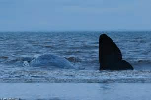 The Bull From The Sea whale on hunstanton dies despite day