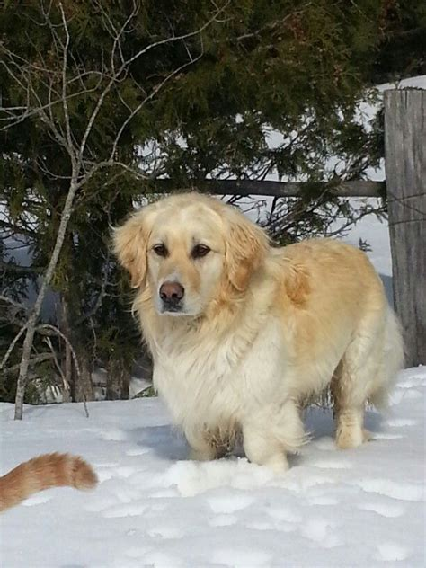 miniature golden retriever ohio miniature golden retriever dogs
