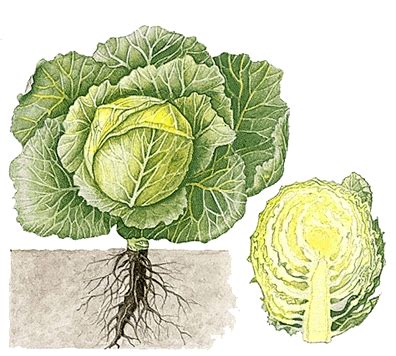 cabbage howstuffworks