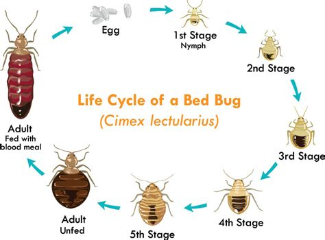 can you see bed bugs during the day what are bed bugs local pest control