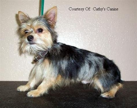 chorkie haircuts chorkie pictures picture to pin on pinterest pinsdaddy