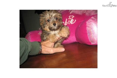 pretty puppies puppies for sale from pretty puppies of tiny malti poos and t cup designer