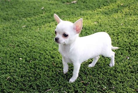 cani di razza piccola per appartamento cani da appartamento piccola taglia miglior razza style 24
