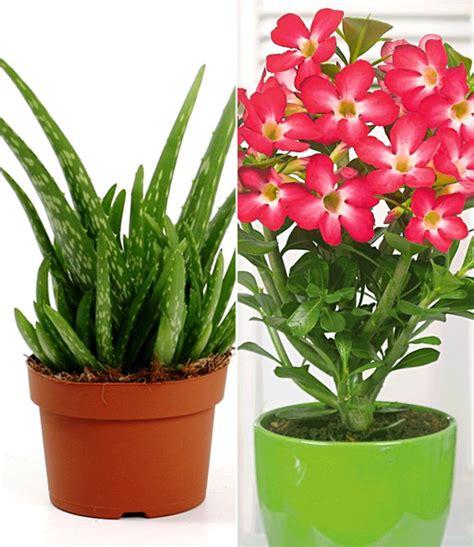 zimmerpflanzen die viel sonne vertragen bio aloe vera w 252 sten rot 1a qualit 228 t