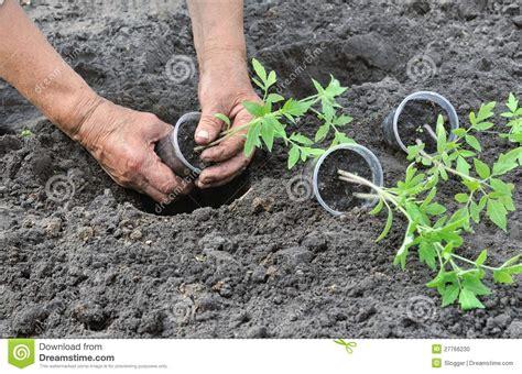 Bibit Tomat planting a tomatoes seedling stock photo image 27766230