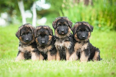 german shepherd puppies cost adopting german shepherd puppies everything you need to