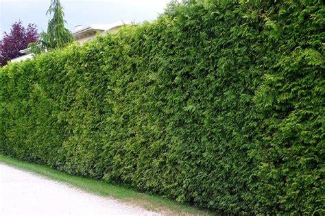 thuja hecke schneiden wann thuja hecke lebensbaum smaragd lebensbaum hecke thuja