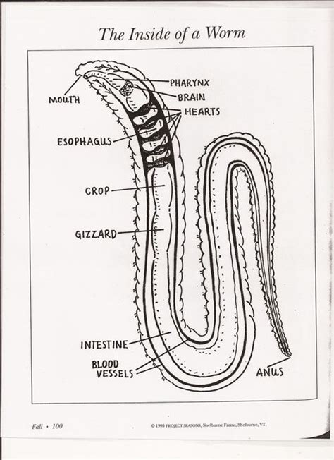 worm dissection search garden initiative biology and anatomy wiggler earthworm anatomy search gardening wigglers preschool