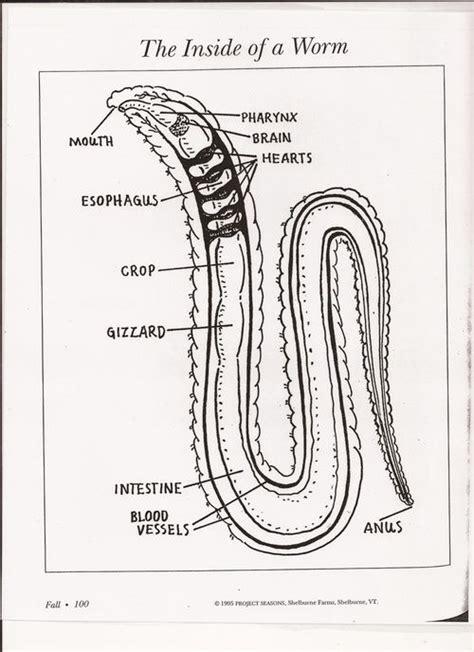 earthworm dissection activity wiggler earthworm anatomy search gardening