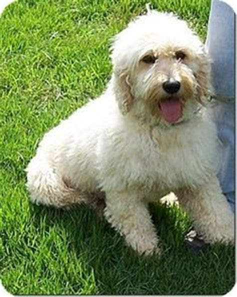 goldendoodle puppy rescue nj pa leo is an adoptable goldendoodle in harleysville pa
