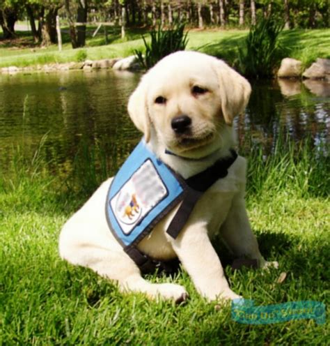 how do they service dogs puppies who become service dogs