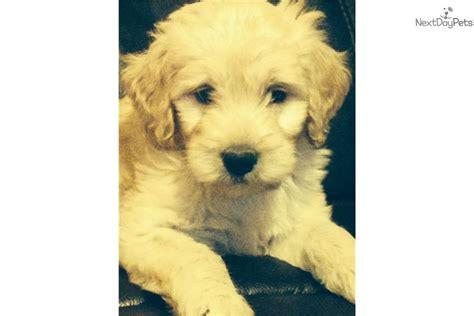 goldendoodle puppy hip dysplasia haden goldendoodle puppy for sale near joplin missouri