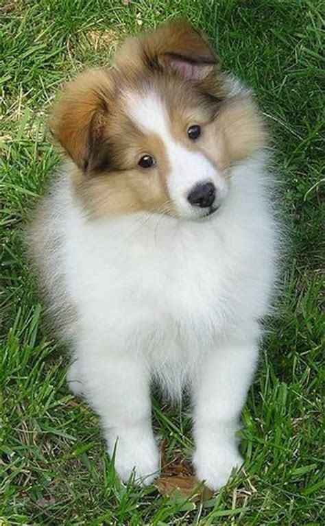 pictures of sheltie puppies shetland sheepdog sheltie info puppies pictures temperament