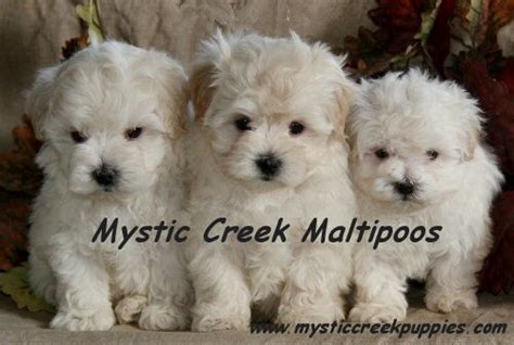 maltipoo puppies for sale illinois maltipoo or akc maltese puppies from mystic creek puppies