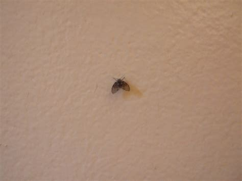 little black flies in bathroom 21 tiny black bugs in bathroom washington