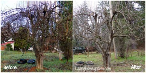 pruning overgrown fruit trees living homegrown