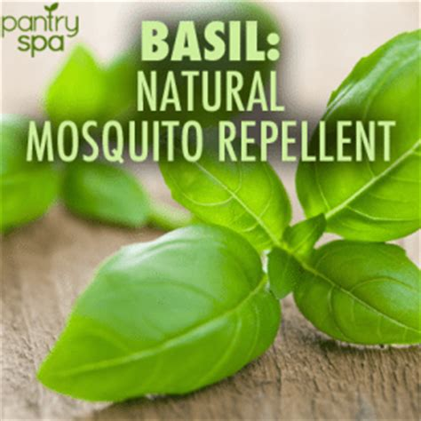 basil found to be natural mosquito repellent scotch tape stops itch