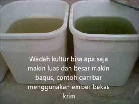 Kutu Air Daphnia Moina Pakan Burayak Cupang Bandung Only kultur daphnia magna aplikatif bbpbat sukabumi doovi