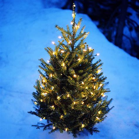 where to buy real christmas trees in and around edinburgh