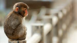 monkey background monkey wallpapers hd pictures one hd wallpaper pictures