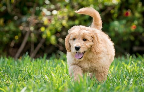 how between puppies 9 amazing facts about goldendoodles wag walking