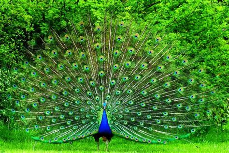 merak hijau gambar burung merak hijau pernik dunia