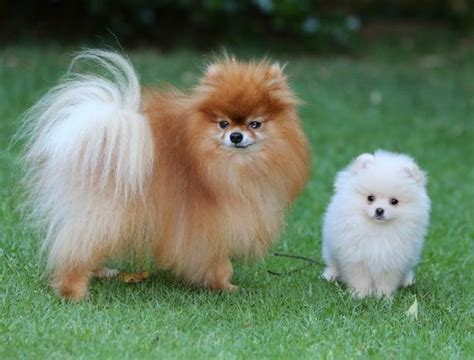 large pomeranians 969 best images about dogs on