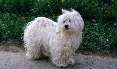 lifespan of havanese dogs havanese