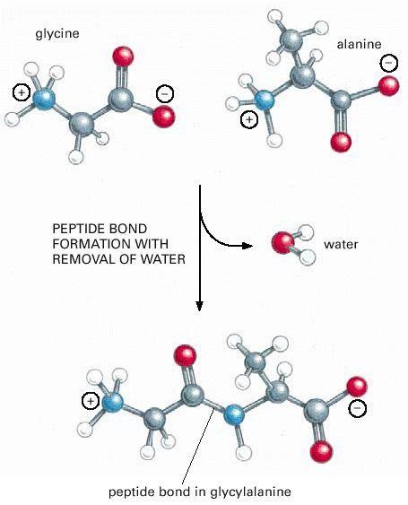 the 25 best peptide bond ideas on start codon