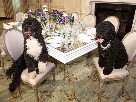 white house dogs bo and sunny bo and sunny obama state dinner photo people com
