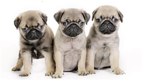 when do pug puppies stop growing puppy facts animal facts encyclopedia