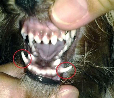 caring for yorkies special methods for terrier teeth care