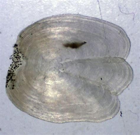 goldfisch schuppen stehen ab altersbestimmung an schuppen