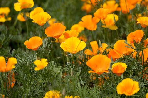 california poppy plant of the month california poppy eschscholzia