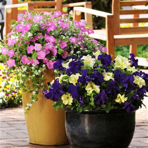 flowering shrubs for pots go gardening helping new zealand grow garden