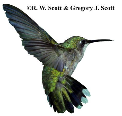 top animals hummingbird top smallest birds animal