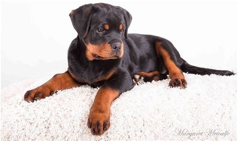 rescue rottweiler rottweiler puppy rescue melbourne photo
