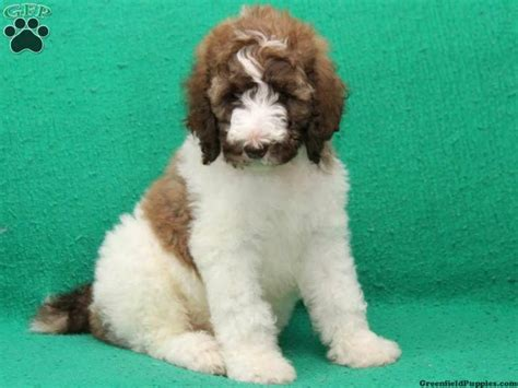 poodle mix puppies for sale in pa turbo standard poodle puppy for sale in new pa dogs for sale