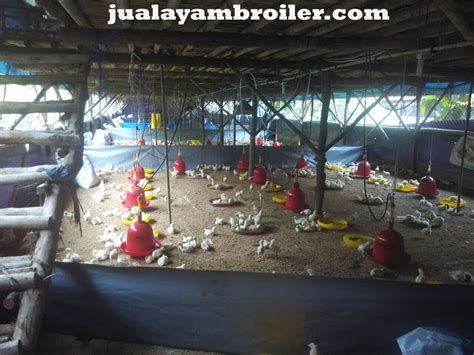 Jual Bibit Ayam Broiler Di Bekasi jual ayam broiler di harapan indah bekasi jual ayam broiler