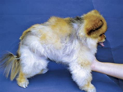 alopecia x treatment pomeranians alopecia x in a pomeranian clinician s brief