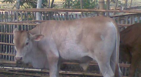 Bibit Sapi Perah tips merawat pedet dunia sapi