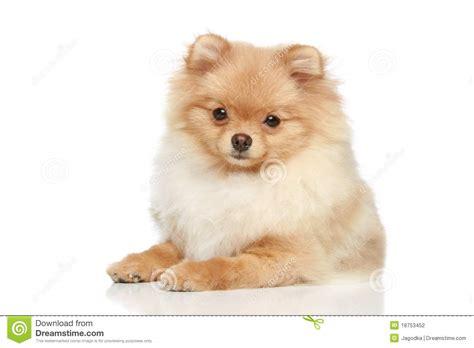 pomeranian en espanol perrito perro de pomerania de pomeranian en un fondo blanco