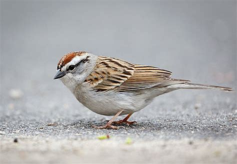 chipping sparrow 187 bird watcher s digest