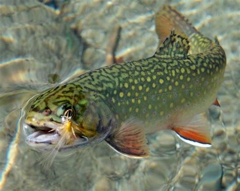 the speckled brook trout salvelinus fontinalis classic reprint books 241 b 228 sta bilderna om projects to try p 229